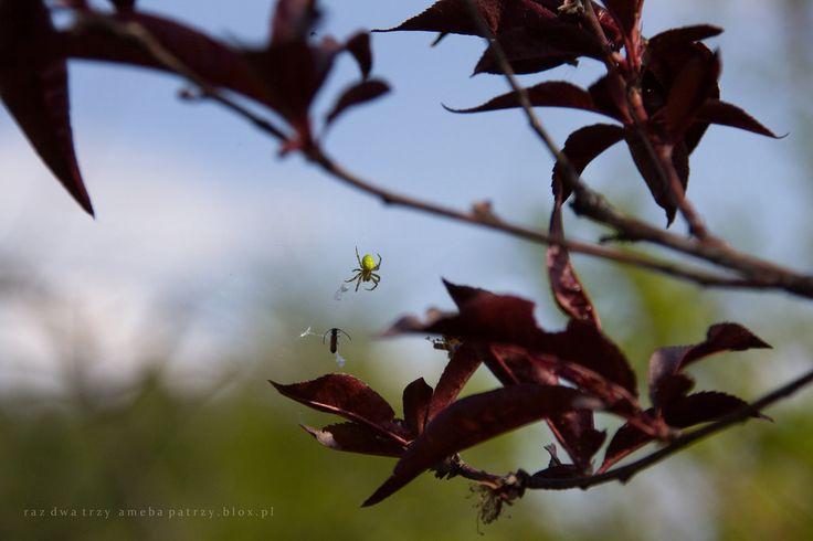Kiedyś, jako dziecko miałam wielką potrzebę zaopiekowania się jakimś zwierzątkiem. Po kotkach, pieskach i innych opornych kurczakach przerzuciłam się na pajączka. Niestety nie był to taki ładny, zielony pajączek, a zwykły krzyżak.