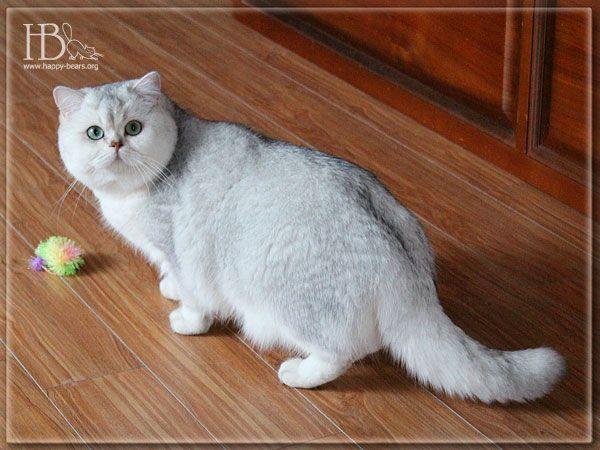 Фотогалерея британских котят окраса золотистая и серебристая затушеванная шиншилла Happy Bears