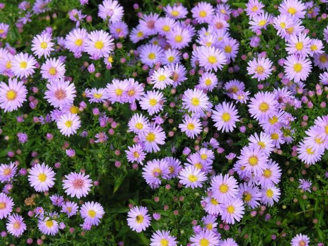 Aster-novi-belgiiVirginiaaster  HøstastersAsteraceae KurvblomstfamilienSTAUDE Lilla