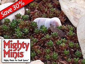 """$6.95 - Sedum album Coral Carpet  Perennial Height: 1-3"""" Zones: 3 to 9 Sun Exposure: Sun"""