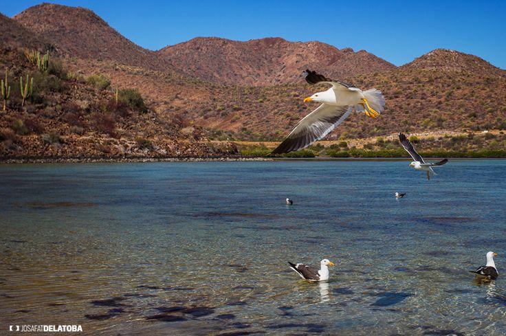 Taking flight  #josafatdelatoba #cabophotographer #loscabos #bajacaliforniasur #mexico #bird #bay #landscapephotography