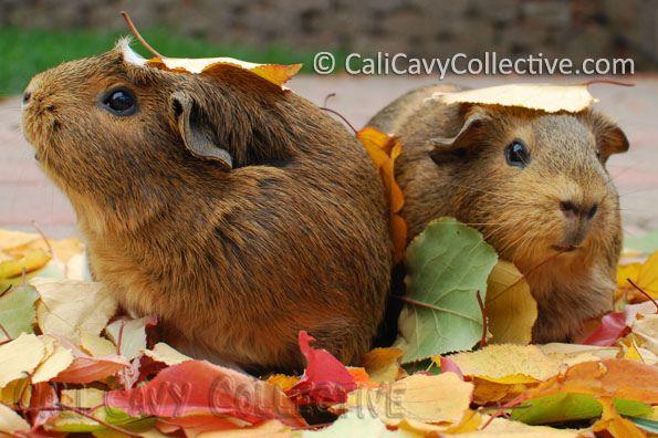 christmas guinea pig song