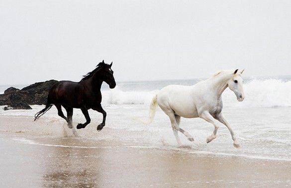 Black & white horses running on the beach