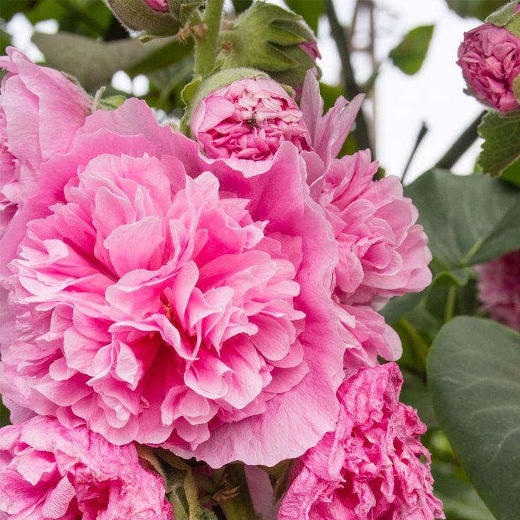 Hollyhock rosea 'Pleniflora': Have