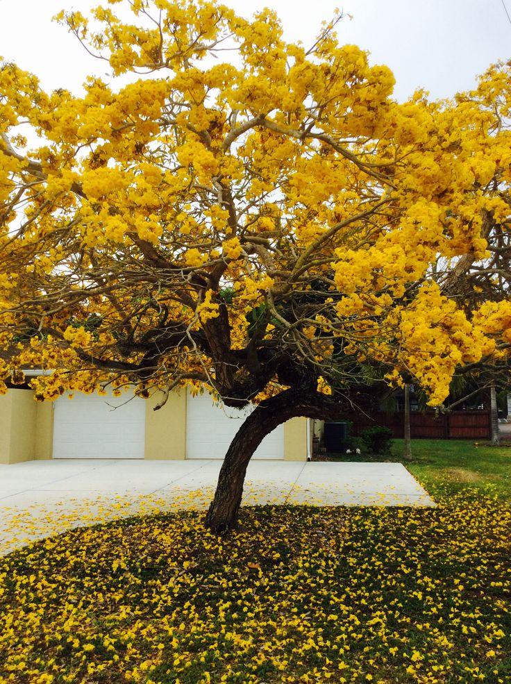 Trees Of The Oregon Garden: Yellow Tabebuia- April In Sarasota -The Showy Tabebuia