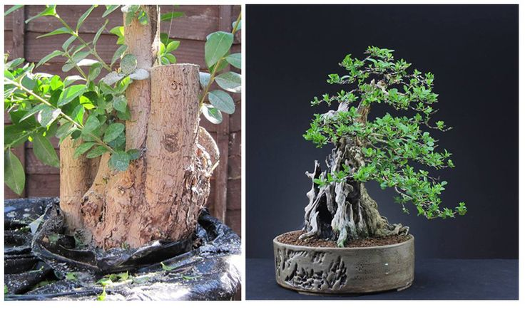 Before & After Bonsai – From Sow's Ear to Silk Purse, a Remarkable 7 Year Transformation - Ligustrum ovalifolium/Privet bonsai