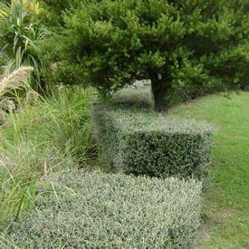 Corokia Silver Ghost (NZ native hedge)
