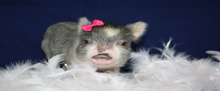 Welcome to Charming Mini Pigs! We are an AMPA Registered breeder of mini pigs and pet pigs. We have mini pigs for sale in a variety of sizes, colors, and breeds.