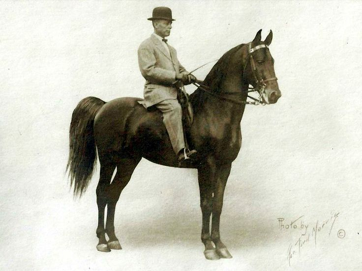 17 Best Images About The American Saddlebred Horse On