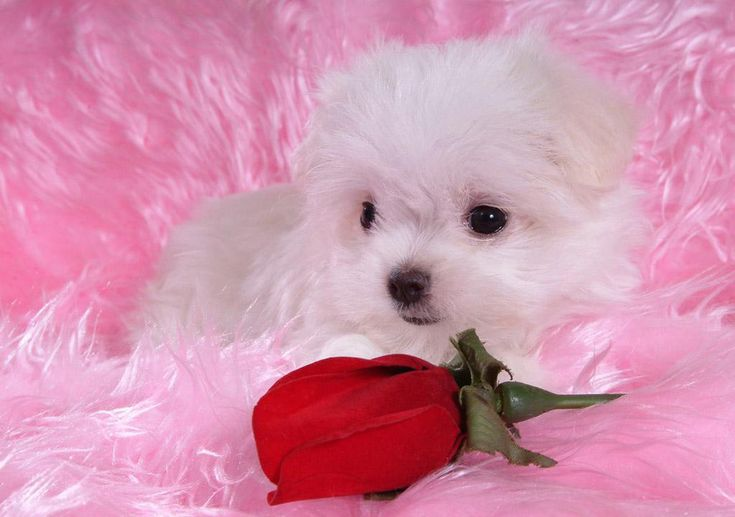 valentine's day puppies background Google Search