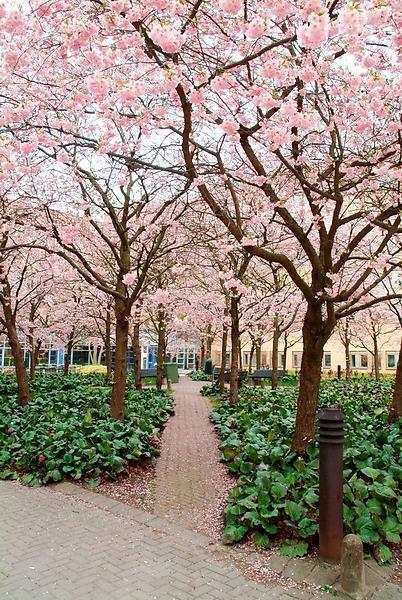 Bergenia cordifolia and cherry trees blossoming #bosque