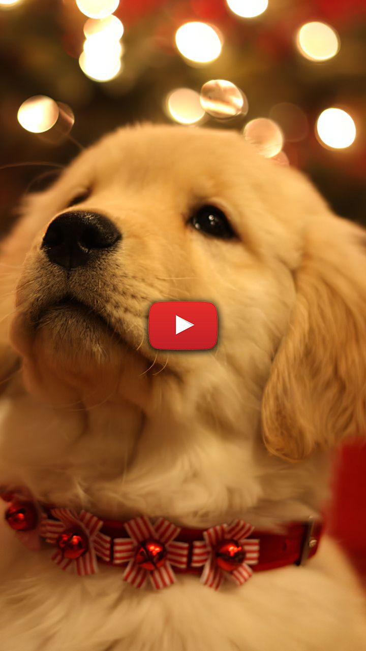Cute Christmas Dog Wallpaper Puppies Golden Retriever Baby Smile Cute Christmas Dog Gifts Puppy Wallpaper Cute Puppy Wallpaper Dog Wallpaper