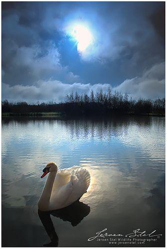 Swan in The Moonlight