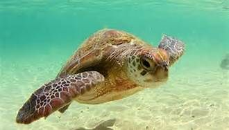 Sea turtle images - Bing Images
