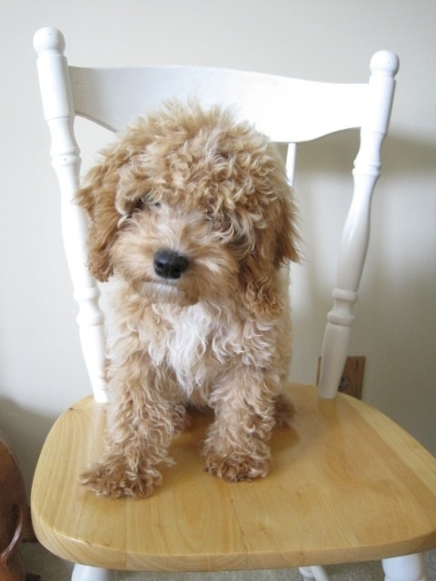 #my perfect puppy goldendoodle small         http://tlcanimalservices.com   i want this