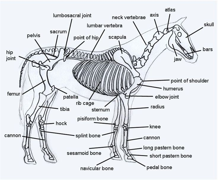 horse skeleton   the perfect weight bearing running