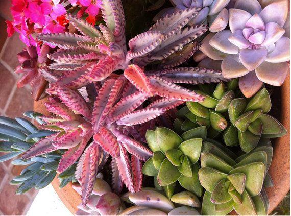 Succulent Plant  Kalanchoe 'Pink Butterflies' by SucculentOasis, $10.00