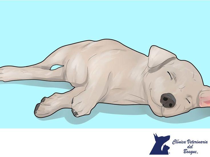 https://flic.kr/p/Qr5T97 | Qué hacer en un ataque de epilepsia. CLÍNICA VETERINARIA DEL BOSQUE 1 | CLÍNICA VETERINARIA DEL BOSQUE. Un ataque epiléptico puede durar de unos cuantos segundos a algunos minutos y tu prioridad durante este tiempo debe ser mantener segura a tu mascota y a ti mismo, evita aproximar tu mano al hocico ya que puede no controlar la mordida. Una vez que pase, mantenlo dentro de la casa y tráelo a la Clínica para revisarlo y hacerle exámenes para investigar las causas…