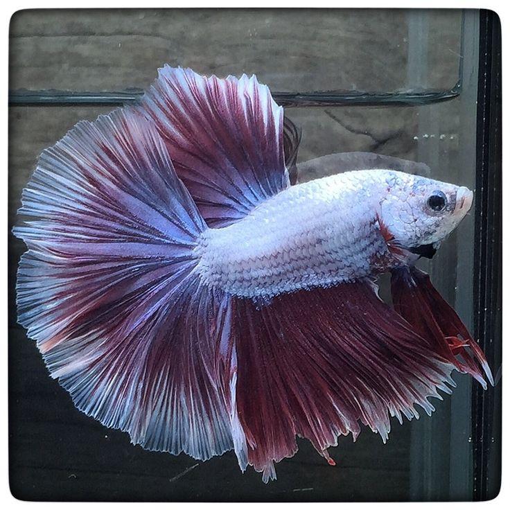 Best purple butterfly 1387 beautiful for Butterfly betta fish
