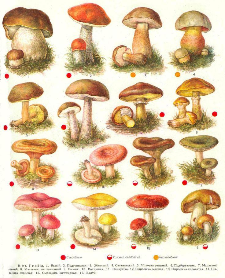 Название грибов с картинками съедобные