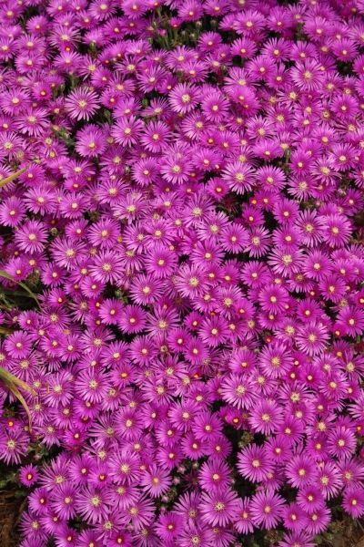"""Cooper's Hardy Ice Plant Delosperma cooperi (Perennial Ice Plant) Zone 6a-9b, Sun, 3""""tall"""