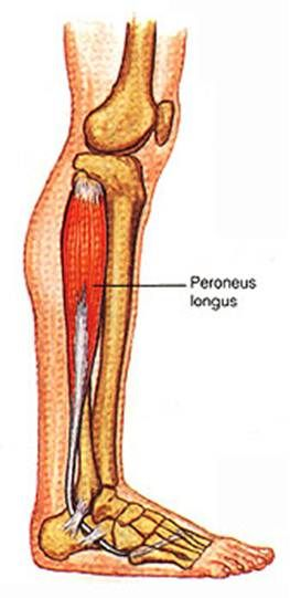 peroneus longus | Peroneus longus cradles the ankle joint from the lateral side
