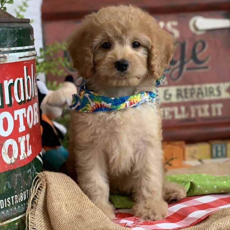 Cavachon Puppies Mason Texas 2021