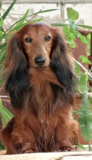 I love my 2 dachys this one looks like Tivvy #dachshund