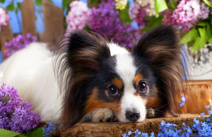 Papillon Dog.  Папильон (фото): собака-бабочка с удивительным характером  Смотри больше http://kot-pes.com/papilon-foto-sobaka-babochka-s-udivitelnym-xarakterom/