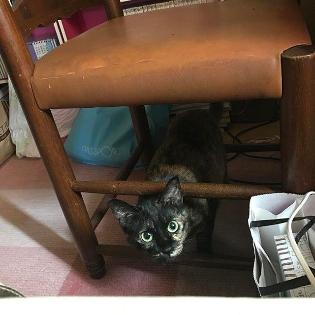 しぇーちゃん、サビ猫祭りですって。 ニャニッ!?! . . 急げ急げ〜〜🐈💨 #31日はサビ猫の日 #サビ猫祭 #猫 #サビ猫 #保護猫 #ふわもこ部 #にゃんすたぐらむ #愛猫 #甘えん坊 #サビ猫の輪 #サビスタグラム #サビ猫ラバーズ #みんねこ #猫好きさんと繋がりたい #cat #catsofinstagram #meow #neko #animal #cutepets #cats_lover #tortoiseshell