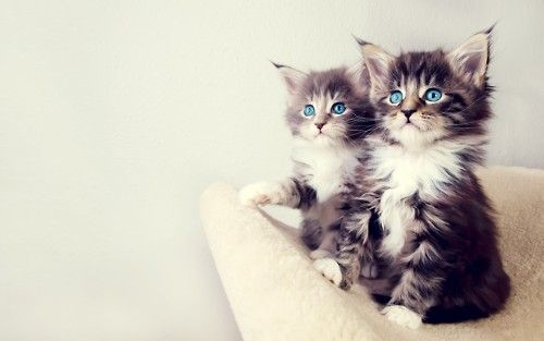blue eyes: Kitty Cat, Maine Coon, Baby Kittens, Cute Cat, Baby Animal, Blue Eye, Persian Cat, Cute Kittens, Baby Cat