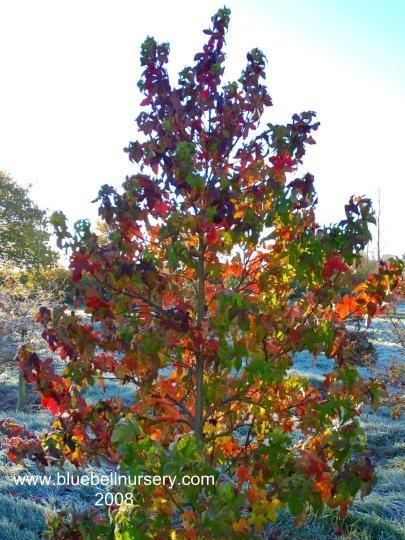 Liquidambar Styraciflua Fastigiata Fastigiate Sweet Gum A Rare Tree With A Narrow Upright Habit And Dark Green Leaves Through Spring Summer Fol Arboles