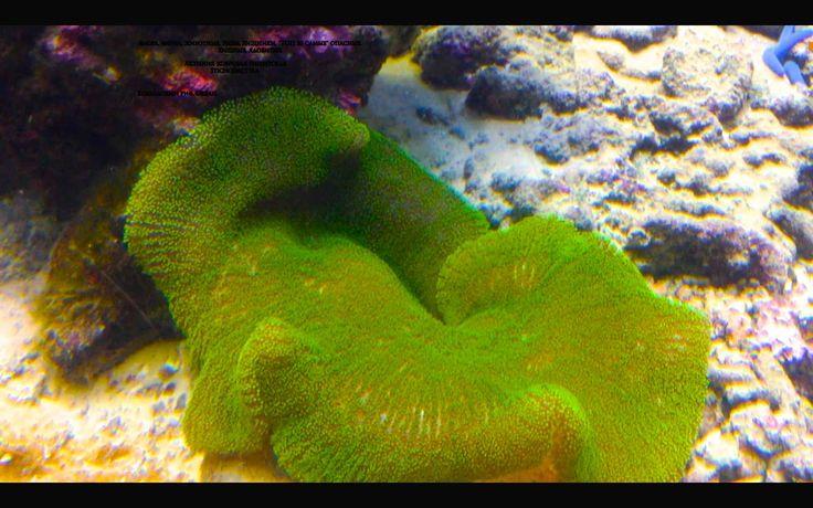 Коралловый риф. Океан. Актиния ковровая гигантская