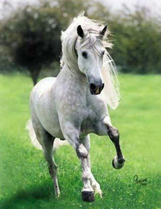 Andalusian horse | Animalia | Pinterest