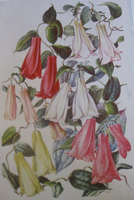 Image result for ilustraciones flora nativa chilena