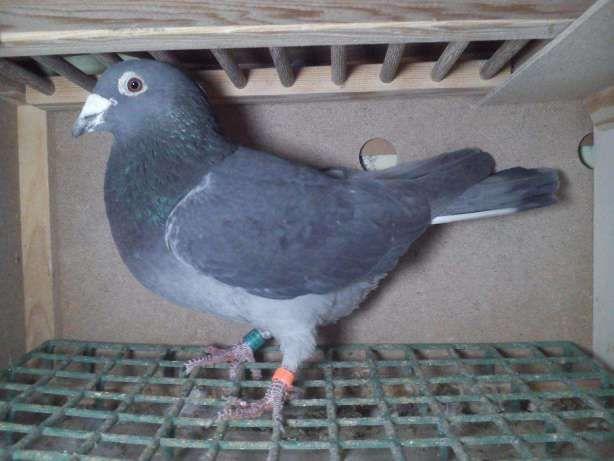 gołębie pocztowe Radwan Ręczno - image 1