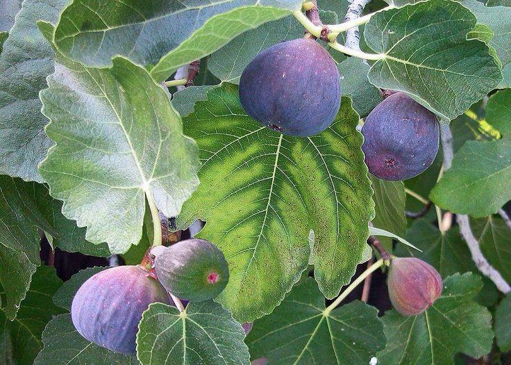Israelian Fig tree