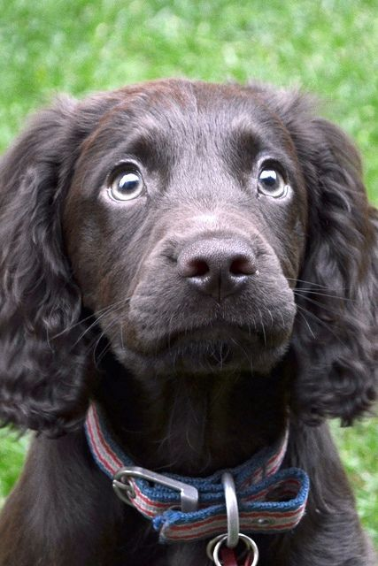 english working cocker spaniel. I'm thinking this is the dog for us. Intelligent, loving, good with kids, obedient and oh so sweet!! ♥