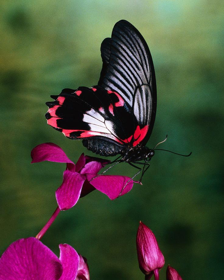 Beautiful Butterfly ~ Amazing design, the fore and aft wing together.