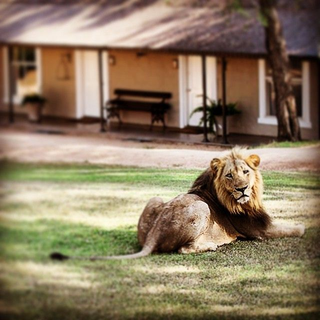 A gorgeous lion in your backyard?  That's just everyday life at Kirkman's Kamp @andBeyondSafari #lodges #photography by @ClaireTrickett #africa #safari #adventure #luxury #wildilfe