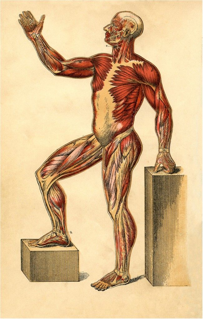 Anatomy Muscle Man Image - The Graphics Fairy