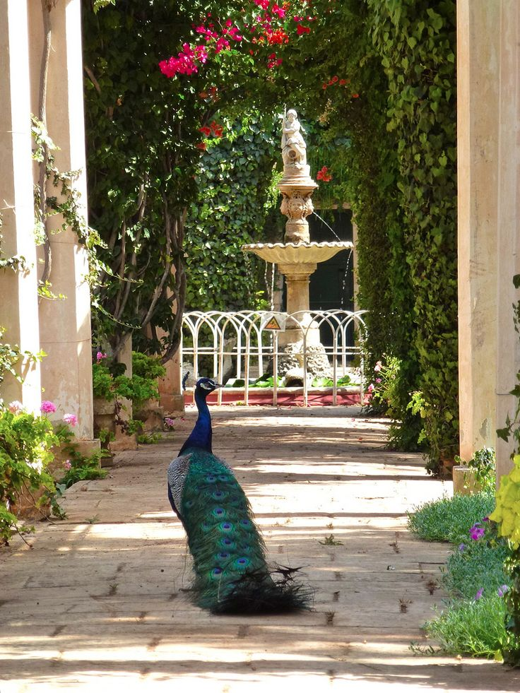 fontaines colibris paon animaux oiseaux paon paons colors paons majestueux le jardin de paon paon fou nature peacocks and peacock