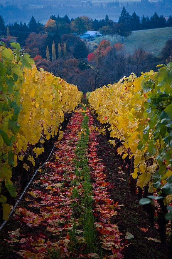 Vinyard in at Domaine Drouhin Winery - Oregon