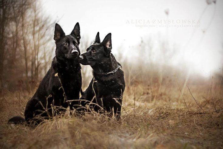 Black German Shepherd Dog - Alicja Zmysłowska Photography