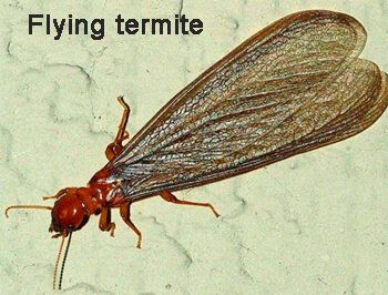 images what do flying termites look like