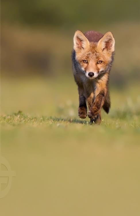 ☀Running Fox Cubby thrumyeye
