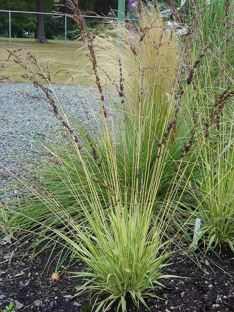 421 best images about ordimental grasses on pinterest for Tall thin ornamental grasses