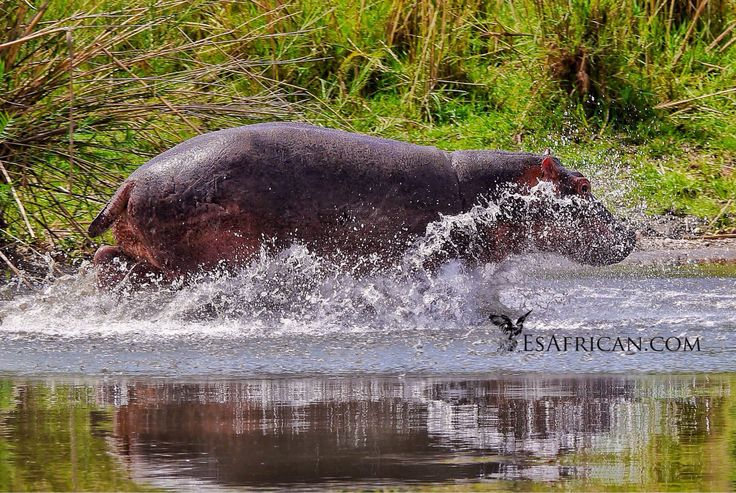 Someone is in a rush to cool off in the Shire. I think our boat startled him. Liwonde National Park.