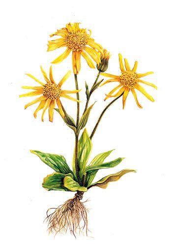 http://www.giardini.biz/piante/piante-spontanee/arnica/