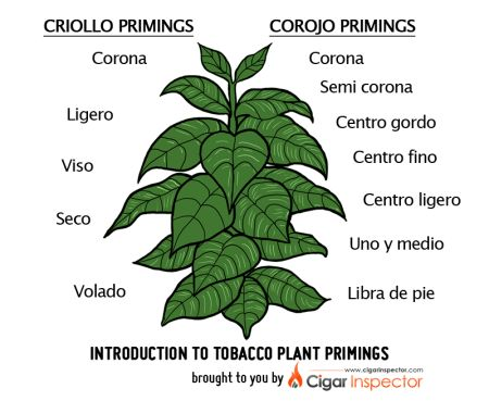 Tobacco plant primings chart - parts of the plant - cigar tips  #cigar101  bestcigarprices.com